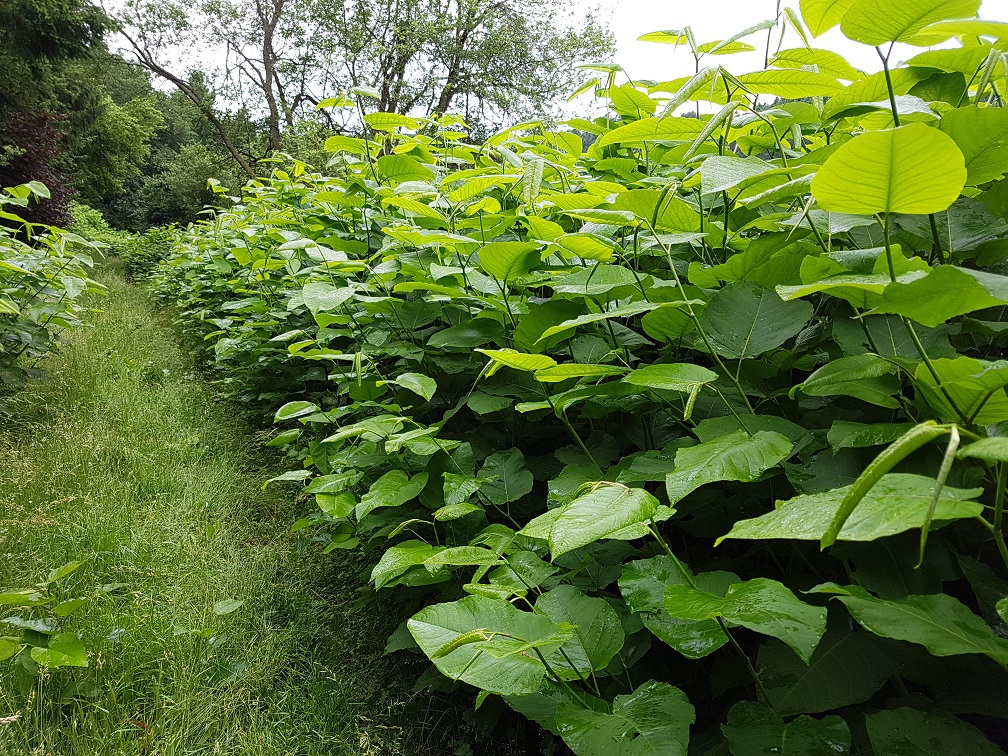 How to Prevent the Spread of Japanese Knotweed