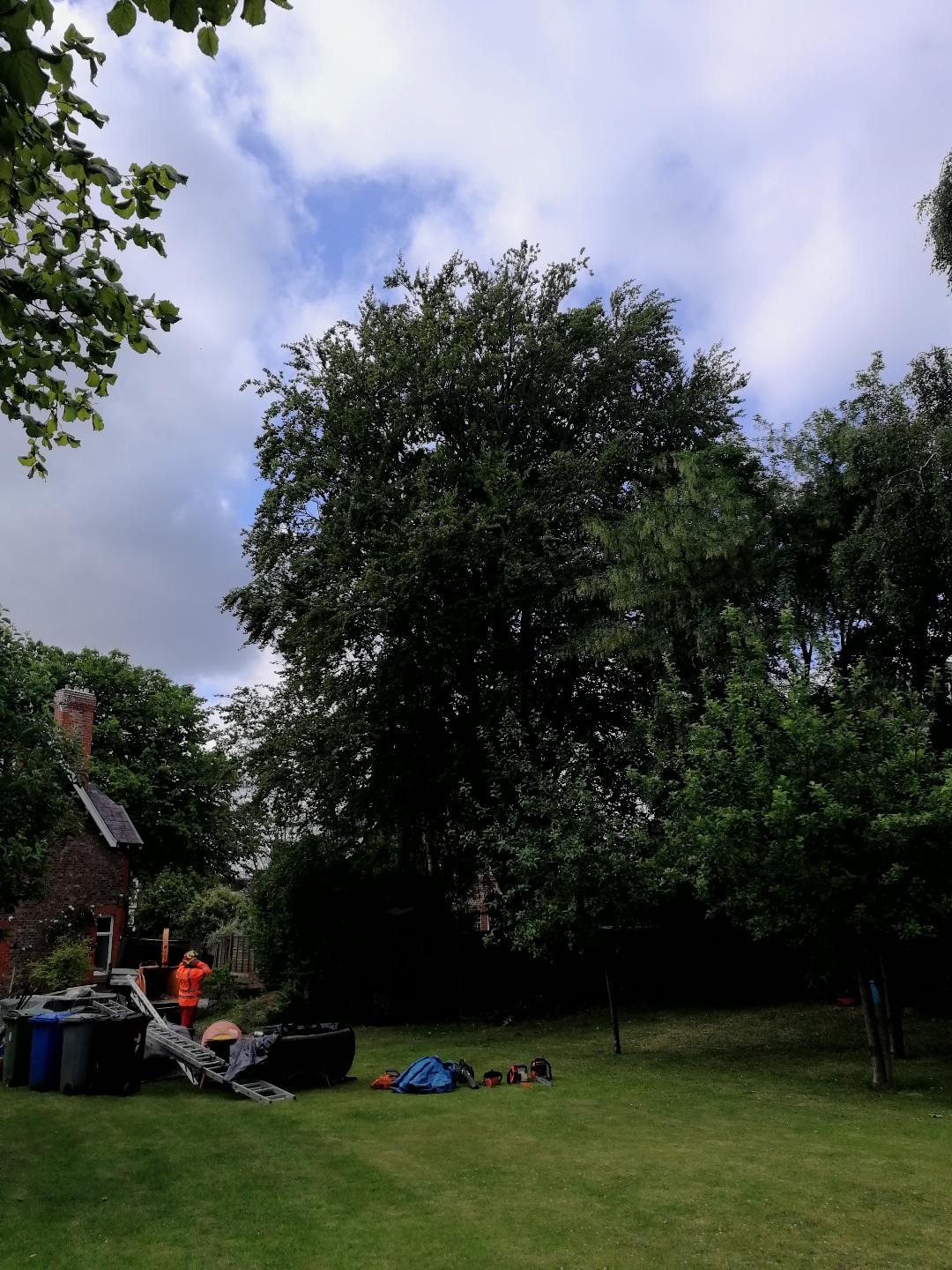 Beech tree removal in Hale