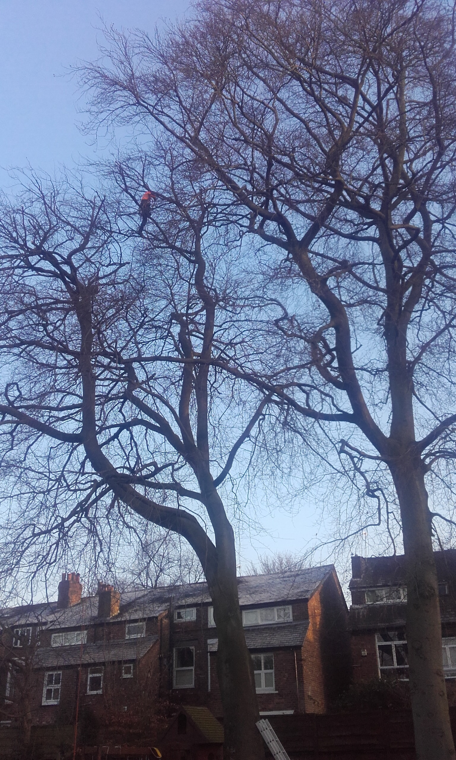Reducing two Beech trees in Didsbury