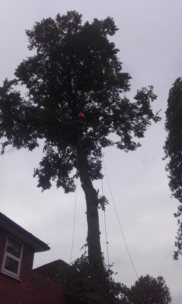 Removing lime trees in Didsbury