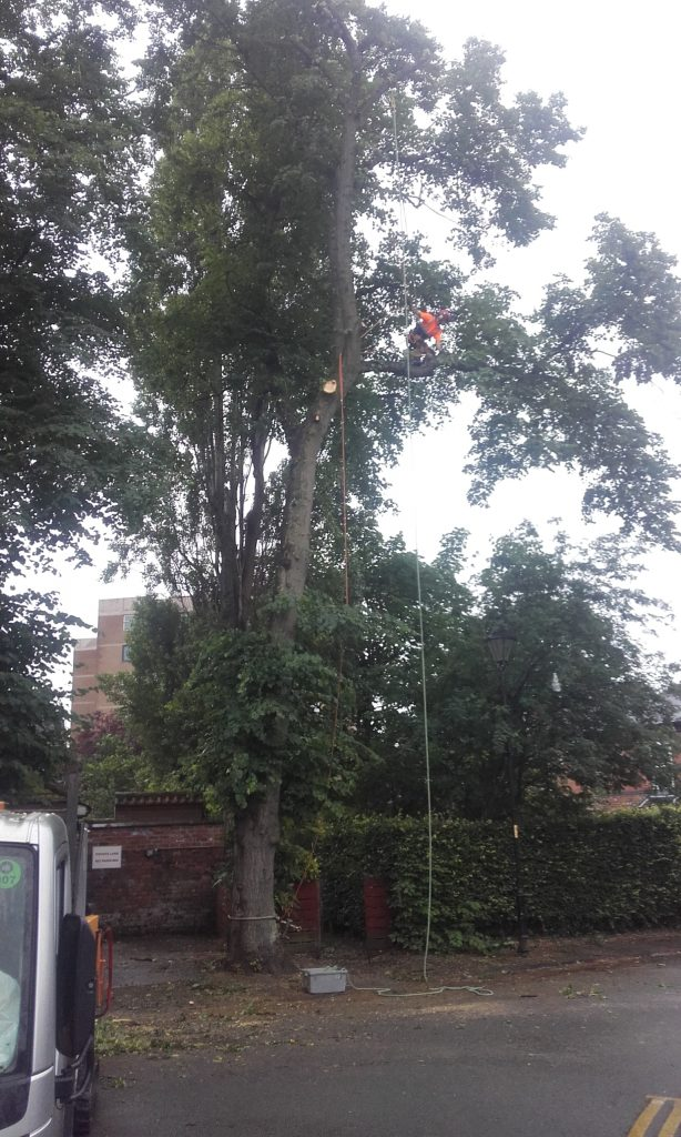 Removing lime trees in Didsbuy