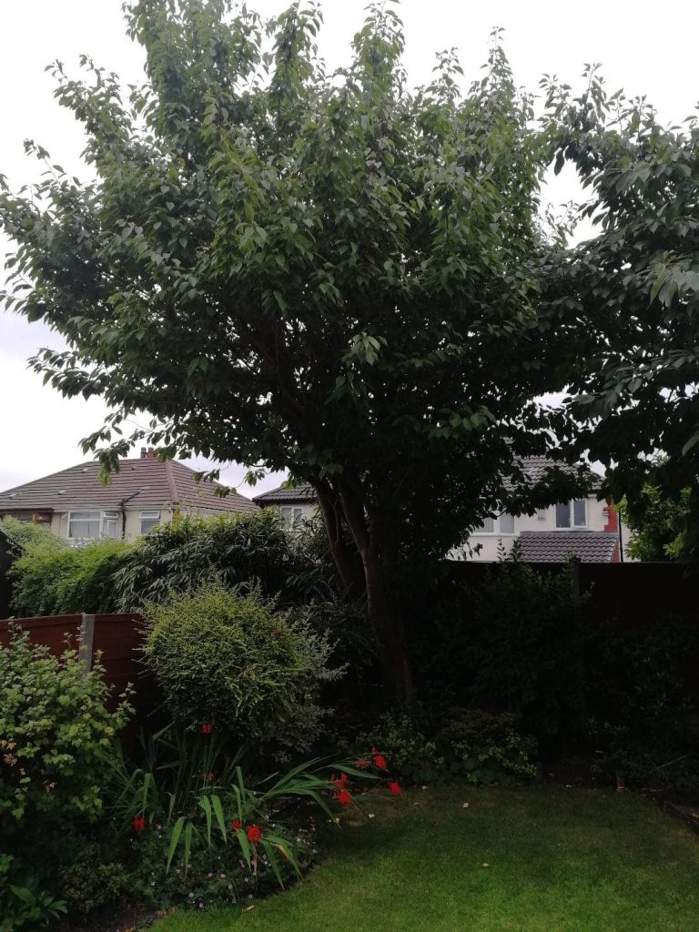 Small Cherry tree removal in Altrincham After