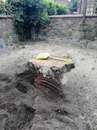 Grinding out a large beech tree stump in Hale Before