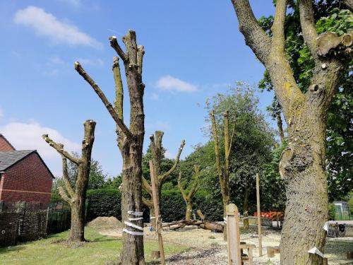 Polarding Willow trees for a school in Manchester
