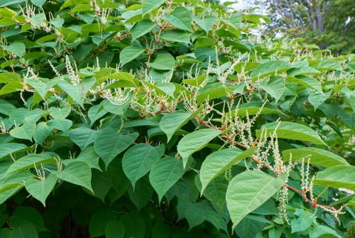 Japanese Knotweed Treatment Manchester